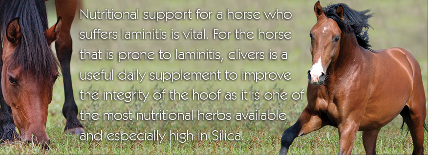 Herbal support for laminitis
