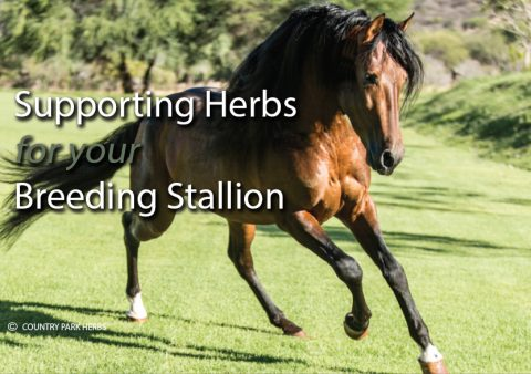 Supporting Herbs for your Breeding Stallion