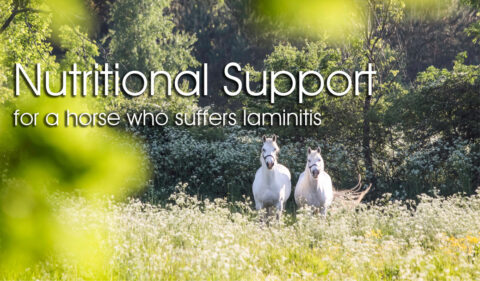 Nutritional Support  for a horse who suffers laminitis